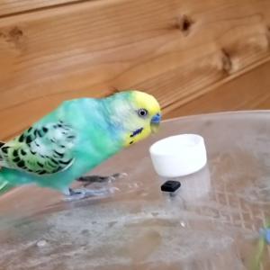 【保護鳥】そらまめちゃんと落ち続けるペットボトルキャップ