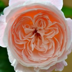 バラ 環美空 秋の開花 和バラ