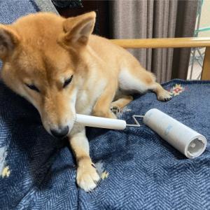 コロコロしたい‼️お手伝い犬