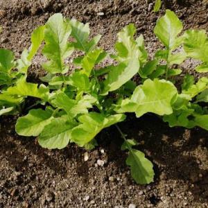 野菜苗を植える 大根とブロッコリー編