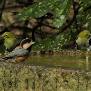 身近な場所の身近な小鳥たち(ヤマガラ、メジロ)
