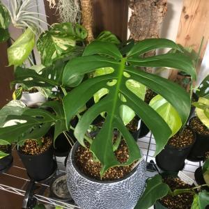植物全般好きなのですが、その中でも好きなモンステラ デリシオサ