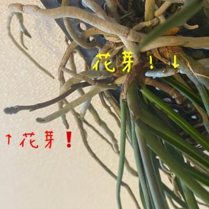 【セイデンファデニア ミトラタ】復活大作戦!