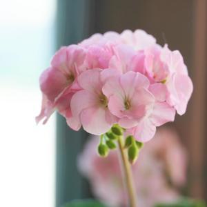 【宿根草 ゼラニウム】365日、咲いてます♪
