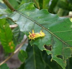 イラガ幼虫に注意