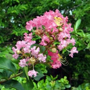 【お散歩】サルスベリが咲いていました