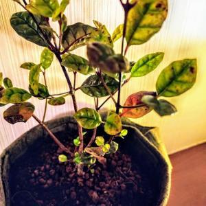 ロフォミルタスのブラータ育てています。そして先日、植え替えしました。