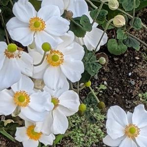 【お散歩の花】秋にみた花は、シュウメイギク・マーガレットコスモス・クンショウギク