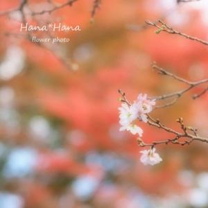 *四季桜*