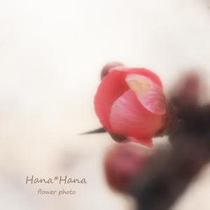 *ボケの花*