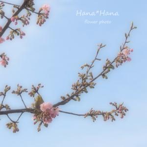 *河津桜*