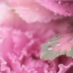 *葉牡丹*
