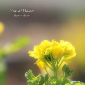 *菜の花*