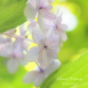 *紫陽花*