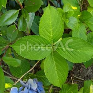 無料ダウンロードできる素材【紫陽花の葉】写真