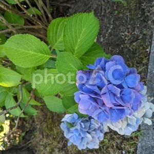 無料ダウンロードできる素材【紫陽花】写真
