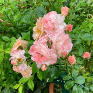 暑さ一休み、お花も生き返る♫