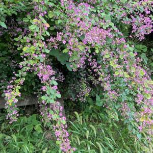 紫蘇の実2種作り