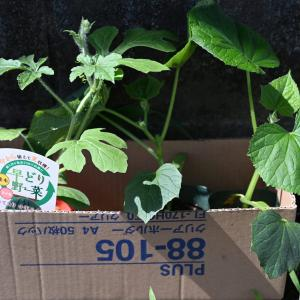 新しく挑戦する夏野菜たち