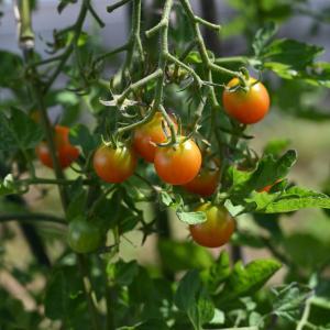 ミニトマトと連作障害