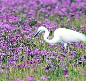 白鷺もきれいな鳥です