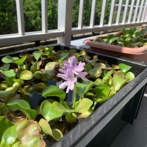 今年最初のホテイアオイの花