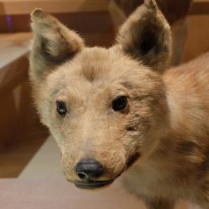 ニホンオオカミのこと〜part《6》和歌山県立自然博物館