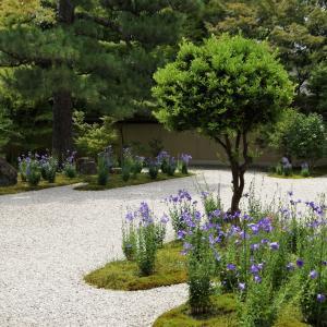 京都「蘆山寺」の桔梗