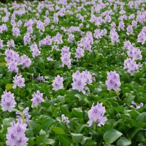 奈良本薬師寺跡「ほてい葵」