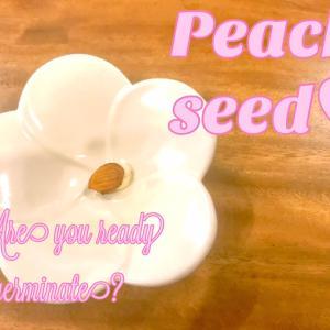 桃の種がついに♥
