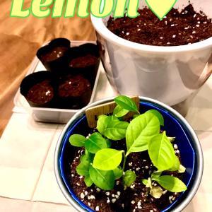 レモンの鉢上げ♥