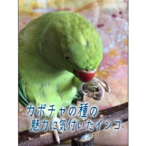 カボチャの種の魅力に気付いたインコ【ワカケホンセイインコ】