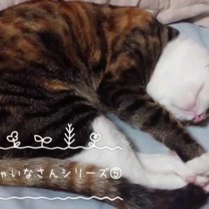 すやすやシャイナさんシリーズ⑤【保護猫お預かり中です】