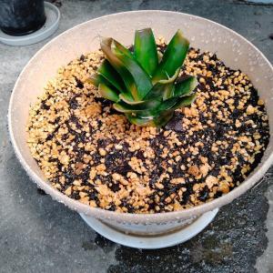 再生栽培(パイナップル)