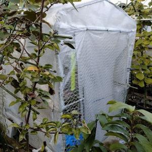 熱帯果樹の防寒準備をしました