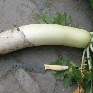 ずらし蒔きした大根とブロッコリー