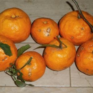 超晩生ミカン(奈津美)の収穫と蜜柑の剪定