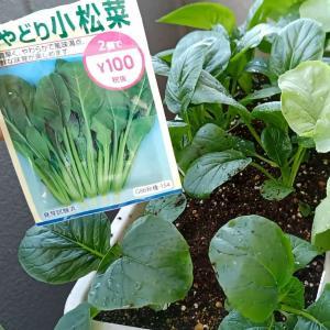 【コスパ最強】3週間でコマツナを収穫!