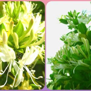 甘酸っぱい香りのスイカズラと季節の花々