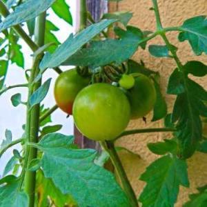 トマトの収穫成功(*^-^*)