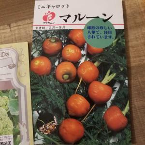 丸い人参♪マルーン種蒔き