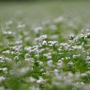 秋蕎麦の花