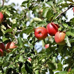 りんごの収穫始まりました
