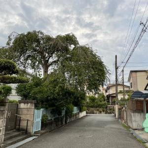 火曜日 庭・木の話 庭の中の大木