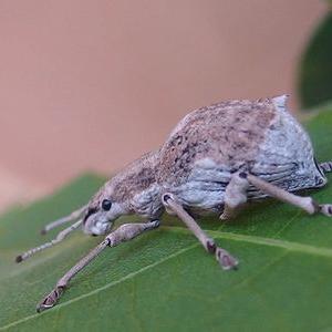 シロコブゾウムシさんの幼虫が誕生しました。