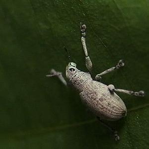 コフキゾウムシの小さな幼虫誕生?