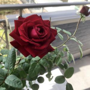 バラが咲いているだけで幸せ!!ああ、美しい!!(2021年10月21日木)