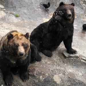 【のぼりべつクマ牧場】オススメポイントと滞在時間について クマのアピールがかわいいです!
