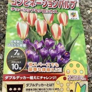 【チューリップ】今年はダブルデッカー植えに挑戦