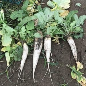 大根の成長 2